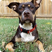 Doberman Pinscher/Labrador Retriever Mix Dog for adoption in Chicago, Illinois - Gia