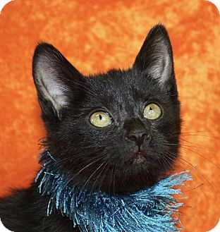 Domestic Shorthair Kitten for adoption in Jackson, Michigan - Myles