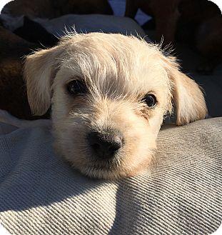 Terrier (Unknown Type, Small) Mix Puppy for adoption in Emeryville, California - JOEY BIDEN
