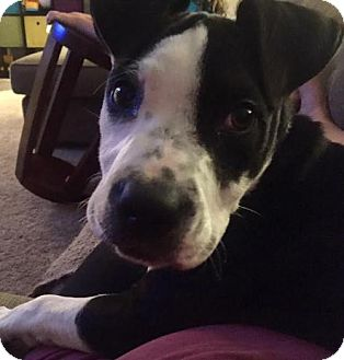 American Staffordshire Terrier/Boxer Mix Dog for adoption in Woodbury, Minnesota - Beaumont