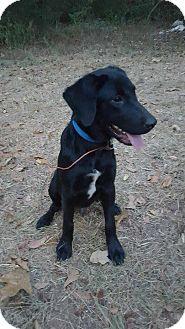 Labrador Retriever Mix Puppy for adoption in Ellaville, Georgia - Jax (adoption pending)
