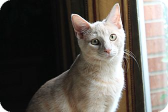 Domestic Shorthair Cat for adoption in Naperville, Illinois - Castiel