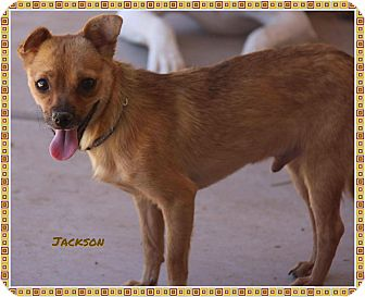 Chihuahua/Rat Terrier Mix Dog for adoption in Phoenix, Arizona - Jackson