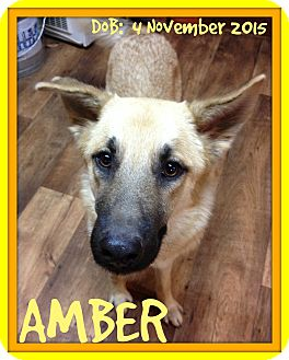 German Shepherd Dog Dog for adoption in Manchester, New Hampshire - AMBER