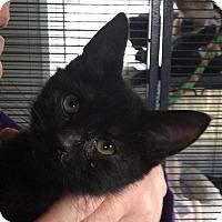 Adopt A Pet :: Licorace - Breinigsville, PA