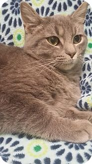 Domestic Shorthair Cat for adoption in Cannelton, Indiana - Sebastian