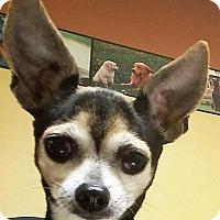 Adopt A Pet :: Pica - St.Ann, MO