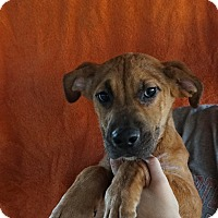 Adopt A Pet :: Dottie - Oviedo, FL