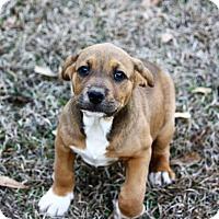 Adopt A Pet :: Randy - Southbury, CT