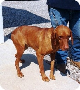Vizsla Dog for adoption in Princeton, Kentucky - Red