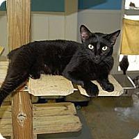 American Shorthair Cat for adoption in Jackson, Mississippi - Igor