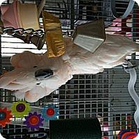 Adopt A Pet :: Gus - Punta Gorda, FL