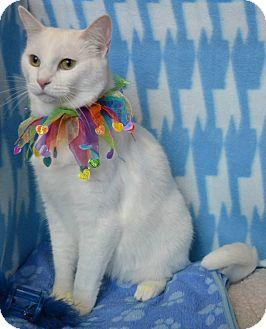 American Shorthair Cat for adoption in Germantown, Tennessee - Bo Peep