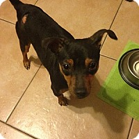 Adopt A Pet :: Sugar - Oceanside, CA