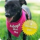 Adopt A Pet :: Allie - Sponsored 'Chi-weenie' Mix. Videos-Adorbs