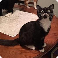 Adopt A Pet :: Tuxie - Pembroke Pines, FL