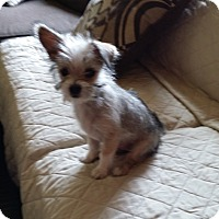 Adopt A Pet :: Holly - Rancho Cucamonga, CA