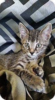 Domestic Shorthair Kitten for adoption in South Haven, Michigan - Rosalina - In Foster