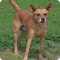 Basenji Mix Dog for adoption in Lebanon, Missouri - Rascal