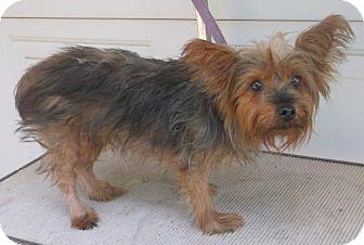 Yorkie, Yorkshire Terrier Dog for adoption in Birch Tree, Missouri - Stella