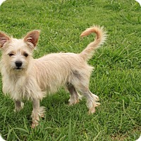 Terrier (Unknown Type, Small) Mix Puppy for adoption in Spring Valley, New York - Buttercup