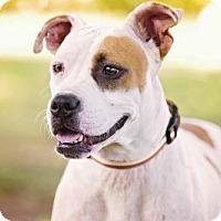Adopt A Pet :: Stella - Pryor, OK