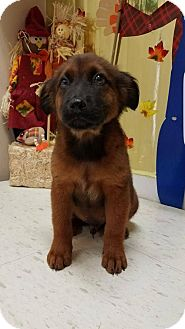 Shepherd (Unknown Type) Mix Puppy for adoption in New York, New York - Rocky