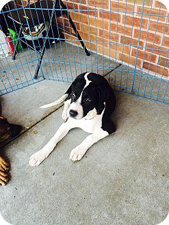 German Shepherd Dog/Labrador Retriever Mix Dog for adoption in waterbury, Connecticut - Admiral
