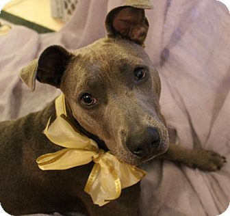 Pit Bull Terrier Mix Dog for adoption in Ocala, Florida - Anabelle (Annie)