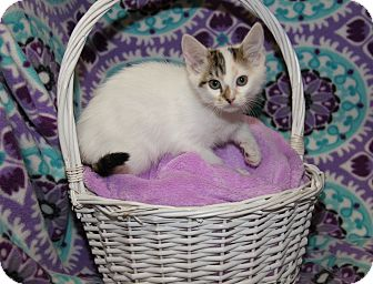 Calico Kitten for adoption in Marietta, Ohio - Tabitha