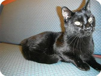 Domestic Shorthair Cat for adoption in Jackson, Michigan - Spooky