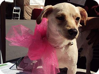 Dachshund/Chihuahua Mix Dog for adoption in San Diego, California - IZA