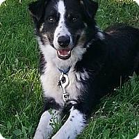 Collie Mix Dog for adoption in Minneapolis, Minnesota - Arboe