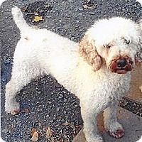 Poodle (Miniature)/Bichon Frise Mix Dog for adoption in Homer, New York - Josh