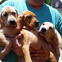 Adopt A Pet :: Lab Trio - Bardonia, NY