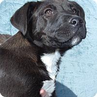 Adopt A Pet :: Chia, photogenic beauty - Snohomish, WA