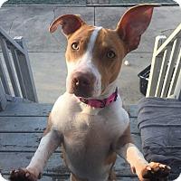 Adopt A Pet :: Ginger - Adoption Pending - West Allis, WI