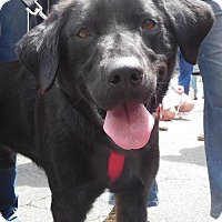 Labrador Retriever Mix Dog for adoption in Rockville, Maryland - Colby