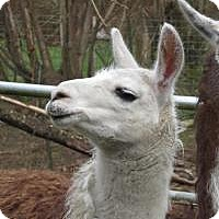 Llama for adoption in Quilcene, Washington - Judy