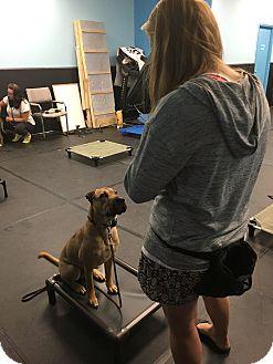 Shar Pei Mix Dog for adoption in ottawa, Ontario - Nacho
