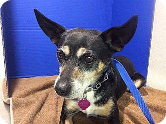 Australian Cattle Dog/Jack Russell Terrier Mix Dog for adoption in Renton, Washington - Jack