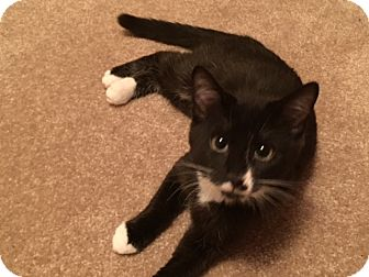 Domestic Shorthair Kitten for adoption in Colorado Springs, Colorado - Sydney
