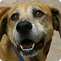 Shepherd (Unknown Type)/Hound (Unknown Type) Mix Dog for adoption in Republic, Washington - Shrek