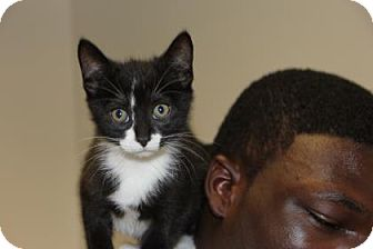 Domestic Shorthair Kitten for adoption in Greensboro, North Carolina - Furry Potter