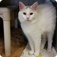 Domestic Longhair Cat for adoption in Chippewa Falls, Wisconsin - Jazalyn
