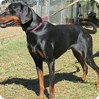 Doberman Pinscher Mix Dog for adoption in Marble Falls, Texas - Isabelle