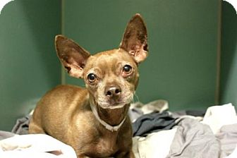Chihuahua Mix Dog for adoption in Manhattan, New York - Chipmunk