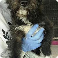 Adopt A Pet :: Coco's Cosmo - Las Vegas, NV