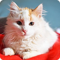 Domestic Longhair Cat for adoption in Xenia, Ohio - Taylor