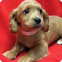 Adopt A Pet :: ADOPTED!!!   Dubai - Gahanna, OH